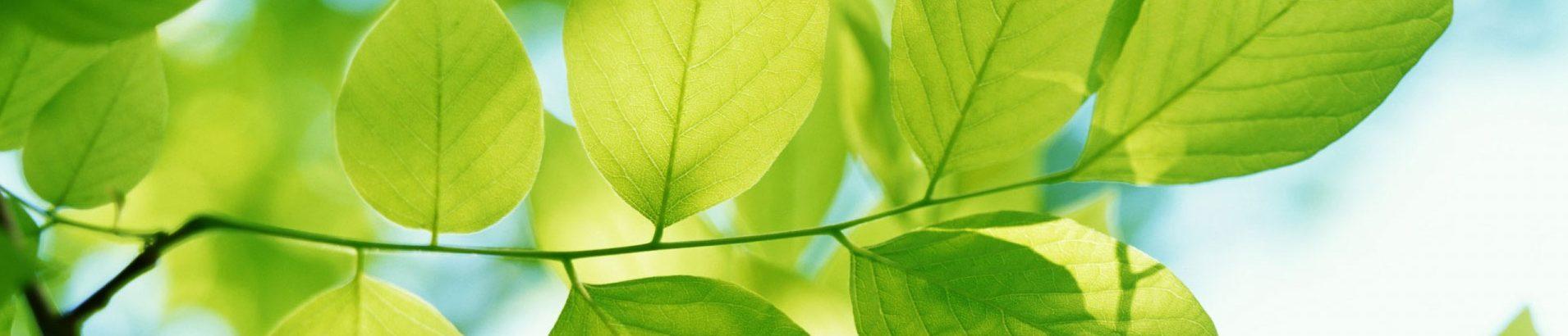 Pueraria Mirifica feuilles